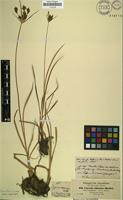 Isotype of Cyperus adoensis Hochst. ex A.Rich. [family CYPERACEAE]