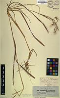 Syntype of Andropogon finitimus Hochst. [family POACEAE]