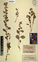 Isosyntype of Blumea drageanoides Sch.Bip. ex A.Rich. [family ASTERACEAE]