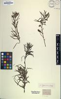 Holotype of Jussieua linearis Hochst. [family ONAGRACEAE]