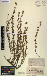 Isosyntype of Blumea phagnaloides Hochst. ex A.Rich. [family ASTERACEAE]