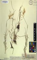 Isotype of Chrysopogon quinqueglumis A.Rich. [family POACEAE]
