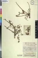 Isosyntype of Pterocarpus abyssinicus Hochst. ex A.Rich. [family FABACEAE]