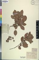 Holotype of Elaeodendron papillosum Hochst. [family CELASTRACEAE]