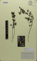 Isotype of Mentha australis R.Br. [family LAMIACEAE]