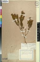 Filed as Agathosma hispida (Thunb.) Bartl. & H.L.Wendl. [family RUTACEAE]