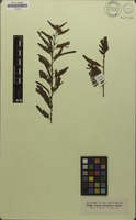 Isotype of Cassia disadena Steud. [family CAESALPINIACEAE]