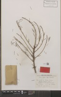 Isotype of Picea farreri C.N.Page & Rushforth [family PINACEAE]