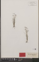 Isotype of Fimbristylis capillacea Hochst. [family CYPERACEAE]