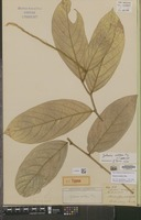 Holotype of Galearia aristifera Miq. [family EUPHORBIACEAE]