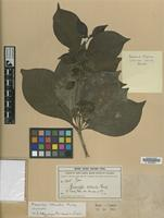 Isotype of Rauvolfia littoralis Rusby [family APOCYNACEAE]