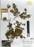 Isotype of Phyllanthus smithianus G.L.Webster [family PHYLLANTHACEAE]