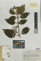Isotype of Miconia hexamera Wurdack [family MELASTOMATACEAE]