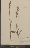 Isotype of Habenaria inaequiloba Schltr. [family ORCHIDACEAE]
