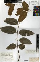 Isotype of Cedrela microcarpa C.DC. [family MELIACEAE]