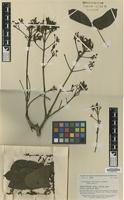 Isotype of Arrabidaea nigrescens Sandwith [family BIGNONIACEAE]