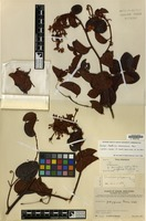 Isotype of Bauhinia clemensiorum Merr. [family LEGUMINOSAE-CAES.]