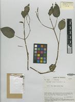 Isotype of Peperomia liesneri Steyerm. [family PIPERACEAE]