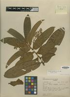 Isotype of Virola duckei A.C.Sm. [family MYRISTICACEAE]