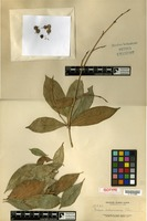 Isotype of Ficus antoniana Elmer [family MORACEAE]