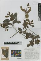 Isotype of Erythroxylum macrophyllum Cav. var. savannarum Plowman [family ERYTHROXYLACEAE]