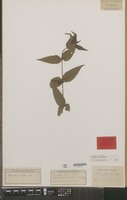 Isotype of Urtica hirta Blume [family URTICACEAE]