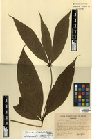 Isotype of Appunia triphylla Ducke [family RUBIACEAE]