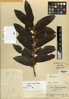 Isotype of Casearia uleana Sleumer [family FLACOURTIACEAE]