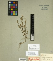 Holotype of Canscora macrocalyx Miq. [family GENTIANACEAE]
