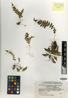 Syntype of Thelypteris pilosa (M.Martens & Galeotti) Crawford var. alabamensis Crawford [family PTERIDOPHYTA]