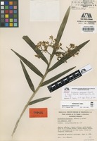 Isotype of Epidendrum durangense Hágsater & Holman [family ORCHIDACEAE]