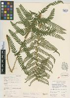 Filed as Polystichum dudleyi Maxon [family DRYOPTERIDACEAE]