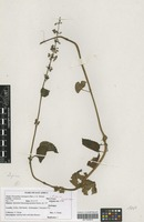 Filed as Plectranthus alpinus (Vatke) Ryding [family LAMIACEAE]