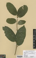 Filed as Antiaris toxicaria Lesch. [family MORACEAE]