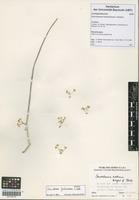 Filed as Cynanchum forskaolianum (Schult.) Meve & Liede [family ASCLEPIADACEAE]