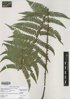 Filed as Polystichum transvaalense N. C. Anthony [family DRYOPTERIDACEAE]
