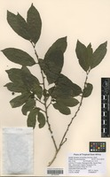 Filed as Bridelia micrantha (Hochst.) Baill. [family EUPHORBIACEAE]