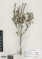 Filed as Ocimum americanum L. [family LAMIACEAE]