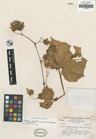 Isotype of Begonia rhodochlamys L. B. Sm. and B. G. Schub. [family BEGONIACEAE]