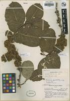 Isotype of Casearia mexiae Sandwith [family FLACOURTIACEAE]