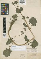 Isotype of Mimulus micranthus A. Heller [family SCROPHULARIACEAE]