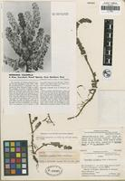 Holotype of Peperomia columella Rauh and Hutchison [family PIPERACEAE]