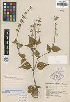Holotype of Salvia cyanantha Epling [family LAMIACEAE]