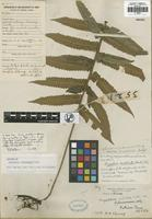 Isotype of Cyclosorus fukienensis Ching [family THELYPTERIDACEAE]