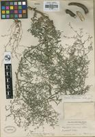 Holotype of Cryptantha racemosa (S. Watson ex A. Gray) Greene var. lignosa I. M. Johnst. [family BORAGINACEAE]
