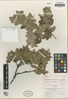Holotype of Arctostaphylos tomentosa (Pursh) Lindl. subsp. insulicola P. V. Wells [family ERICACEAE]