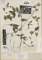 Holotype of Tradescantia deficiens Brandegee [family COMMELINACEAE]