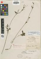Holotype of Carum mairei Diels ex M. Hiroe [family APIACEAE]