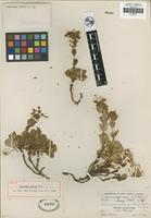 Holotype of Penstemon tracyi D. D. Keck [family SCROPHULARIACEAE]