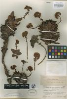 Holotype of Dudleya formosa Moran [family CRASSULACEAE]